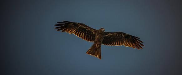 Hawk  Fototapete