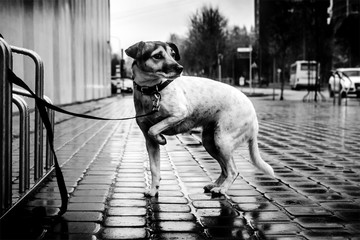 A lone dog on the street. Dramatic lighting. It's raining. A black-and-white photo.