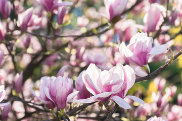 beautiful blossom of magnolia tree. wonderful springtime nature background. tender purple flowers