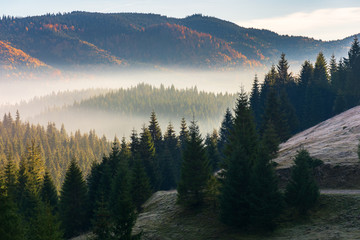 foggy sunrise in autumn mountains. beautiful nature scenery in morning light. spruce forest on the slope of a hill. wonderful mountain landscape of Romania