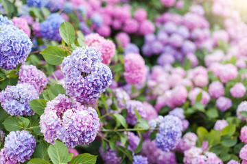 Fotomurales - Hydrangea is pink, blue, lilac, violet, purple bushes. Flowers are blooming in spring and summer in street garden outdoor.