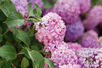 Fotomurales - Pink and purple hydrangea flowers. Bushes are blooming in spring and summer in countryside garden.