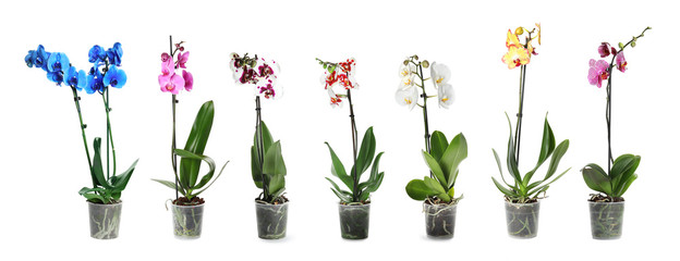 Foto op Plexiglas Orchidee Set of beautiful orchid phalaenopsis flowers in pots on white background