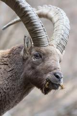 Ritratto di stambecco (Capra Ibex)