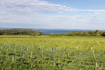 Michigan Wine Country. Vineyard on the Old Mission Peninsula in Traverse City along the coast of Lake Michigan.