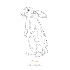 Vector illustration of hare forest animal Hand drawn ink realistic animal sketching isolated on white. Perfect for logo branding colourig book design.