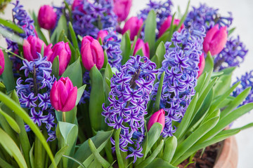 Fotomurales - Blooming tulips and hyacinth in flower pots outdoor. Spring gardening. Purple, pink and lilac flowers.