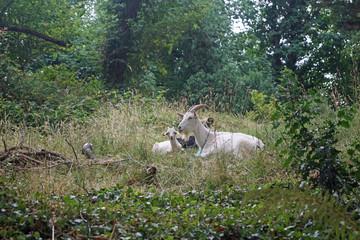 Goats in Cork
