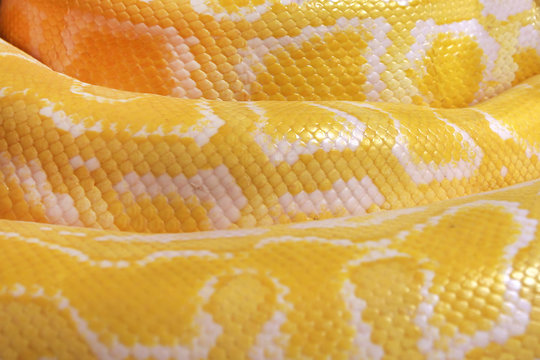 Texture. The skin of a live yellow snake with white stripes. Gold reticulated python