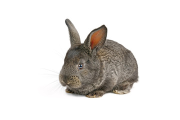 Little domestic rabbit isolated on white background.