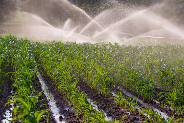Irrigation on a young maize crop in South Africa