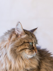 Adorable siberian cat of livestock in relax outdoor
