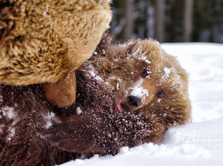 Bear mother and cub playing in the winter forest on snow. Closeup