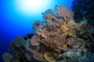 Wall Mural - Beautiful fan corals