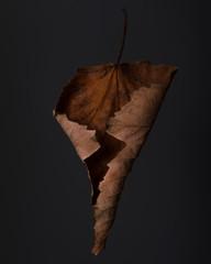 Closeup of dry plane tree leaf on dark background