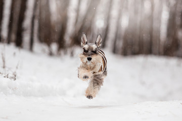 Dog breed Miniature Schnauzer in the winter forest
