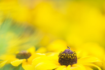 Small midge on a Black-eyed susan flower (Rudbeckia hirta). Selective focus and shallow depth of field.
