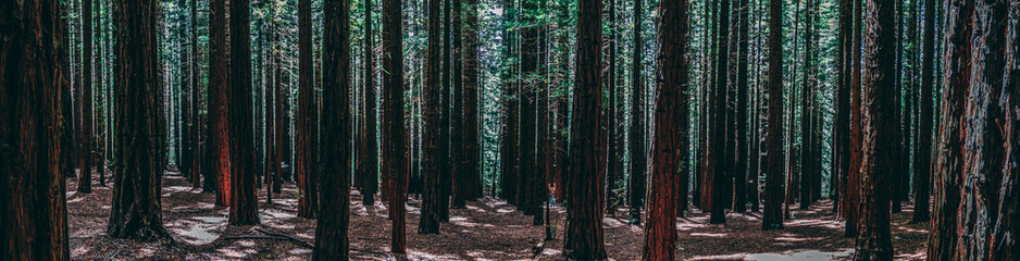 Rows of trees at the Redwood Forest Warburton in the Yarra Valley. Melbourne, Australia.