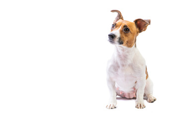 Portrait Jack Russell Terrier, standing in front, isolated white background Wall mural