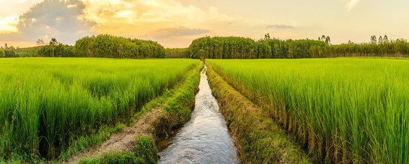 Photo sur cadre textile Sauvage Rice field with sunrise or sunset in moning light
