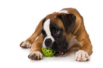 Young boxer dog with a ball isolated on white background