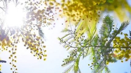 Klistermärke - Mimosa. Spring flowers Easter background. Blooming mimosa tree over blue sky. 4K UHD video footage. 3840X2160