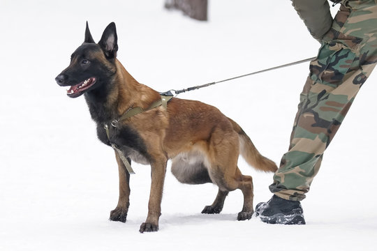 Young Belgian Shepherd dog Malinois staying on a snow next to its owner during the protection training time in winter
