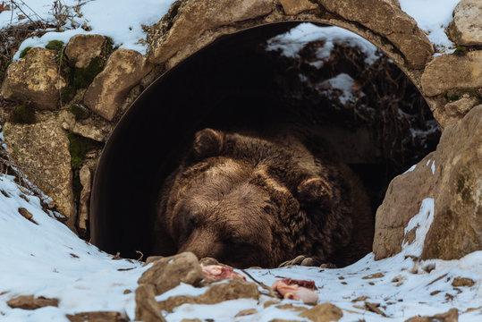 Brown bear sleeping in the cave