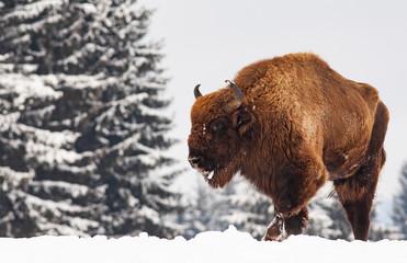 Fototapeta european bison (Bison bonasus) in natural habitat in winter