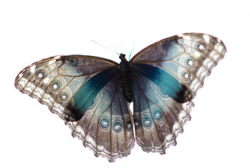A brush-footed butterfly on the white background