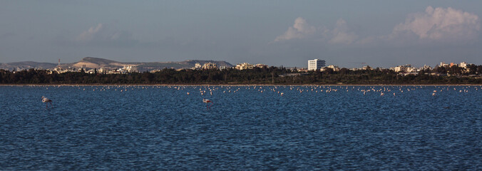 flock of birds pink flamingo walking on the blue salt lake of Cyprus in the city of Larnaca