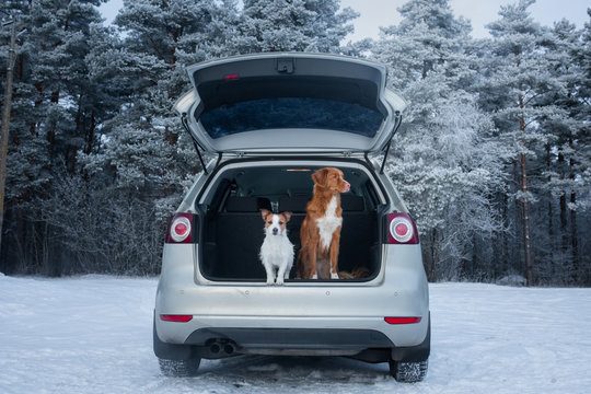 two dogs in the car in the trunk. A trip with a pet. Nova Scotia Duck Tolling Retriever and a Jack Russell Terrier