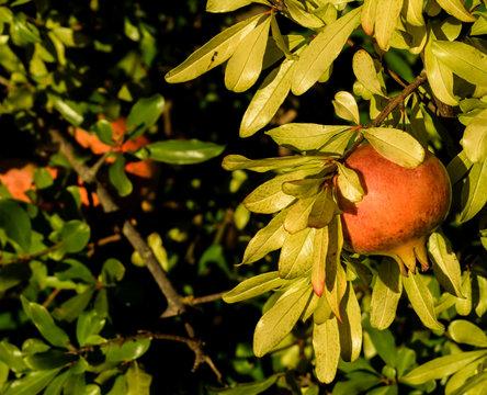 Tasty pomegranate on a branch at night.
