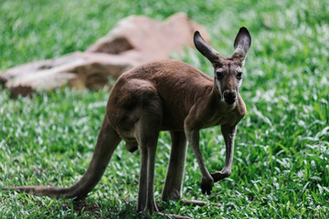 A baby kangaroo on the grass
