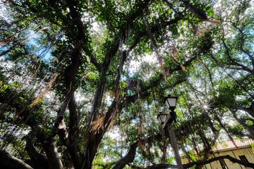 Lahaina, Muai, Hawaii Banyan Tree