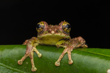 Macro Image of Mossy Tree Frog: Rhacophorus everetti. Sabah, Borneo. Taken at night , Adorable cute mossy tree frog of Borneo