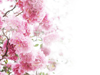 Wall Mural - Floral backdrop of pink flowers over white background.