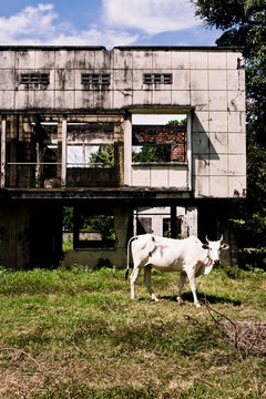 Cow grazes in front of abandoned villa destroyed during the Khmer Rouge civil war and genocide era