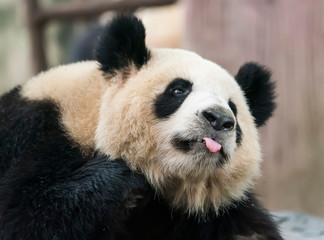 panda on nature background. Wild Animals.