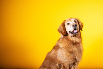 Portrait of golden retriever dog with yellow background