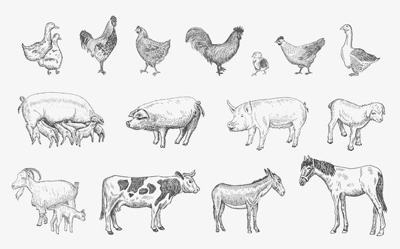 Farm Animals set. Vector sketches hand drawn illustration