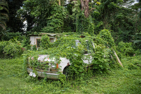 Old abandoned rusty car in green tropical jungle forest