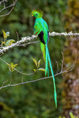 Male Quetzal in the cloud forest of Costa Rica