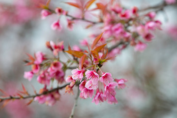 Wild himalayan cherry blooming pink tree of cherry blossom or Sakura flower - in winter at Chiang Mai of Thailand