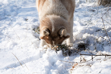 husky dog hunting and eating mouse in the snowy winter park