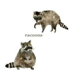 Cute raccoon animal. Watercolor.Isolated illustration