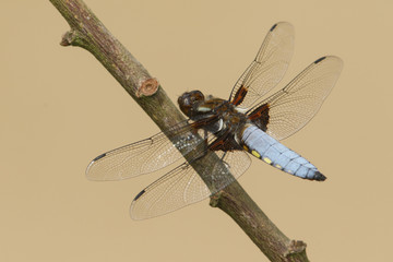 A stunning male Broad-bodied Chaser Dragonfly (Libellula depressa) perched on a branch.
