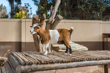 Goat playing on a wooden deck