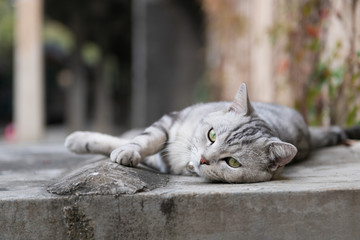 Cute American short-haired cat sleeps on the ground