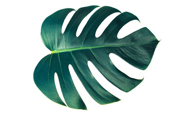 Monstera green leaf isolated on white background with clipping path for summer and spring design element in blue toned.